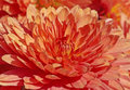 Red chrysanthemum close up of Stock Images