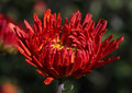 Red chrysanthemum close up of Stock Photography