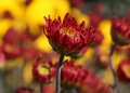 Red chrysanthemum close up of Stock Photo