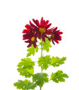 Red chrysanthemum flowers with leaves isolated on white Royalty Free Stock Image