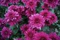 Red chrysanthemums Royalty Free Stock Photo