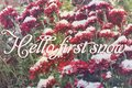 Red chrysanthemums in the snow. background