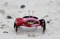 Red-clawed  Crab Royalty Free Stock Photo