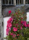 Red climbing rose roses on tudor timber framed house england Stock Image