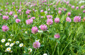 Red clover from close closeup of or trifolium pratense in a field with some common daisies too Royalty Free Stock Images