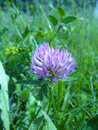 Red clover a close up from a Royalty Free Stock Photography