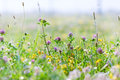 Red clover and diverse meadow flowers Royalty Free Stock Image