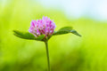 Red clover flower Royalty Free Stock Photo