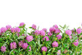 Red clover flower white background plant macro shot isolated on Royalty Free Stock Images
