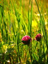 Red clover flowers at dusk Royalty Free Stock Photo