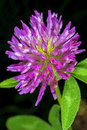 Red clover medicinal plant trifolium pratense Royalty Free Stock Photo