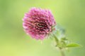 Red clover trifolium pratense flower of a on green background macro Stock Photos
