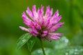 Red clover (Trifolium pratense) Royalty Free Stock Photo
