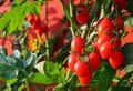 Red cluster tomato plant and the yellow flowers in the background Royalty Free Stock Image