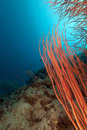 Red cluster whip in the Red Sea. Stock Photo