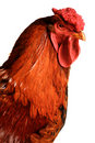 Is a red cock Royalty Free Stock Images