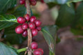 Red coffee beans on a branch of coffee tree Royalty Free Stock Photography