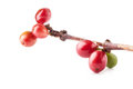 Red coffee beans on branch of coffee tree ripe and unripe berries isolated white background Stock Photos