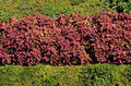 Red coleus flowers in the garden among green bushes Royalty Free Stock Photography