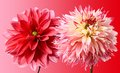 Red color close up of beautiful two dahlias on a gradient background Stock Photos