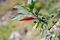 Red colored chilli peppers on tree. Royalty Free Stock Photo