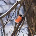 Red-colored Male of Eurasian Bullfinch, Pyrrhula pyrrhula, close-up portrait on branch with bokeh background Royalty Free Stock Photo