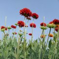The red colour flowers and a blue sky. This photo will helpful for web page making logo making and such other.
