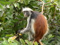 Red colubus monkeys Royalty Free Stock Image