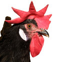Red Combed Rooster Royalty Free Stock Photography