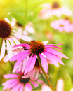 Red coneflowers or purple coneflowers Royalty Free Stock Photo