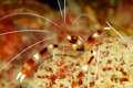 Red or Coral Banded Shrimp Royalty Free Stock Photography