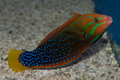 Adult Red Coris Wrasse Royalty Free Stock Photo