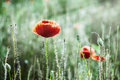 Red corn poppy (Papaver rhoeas) in the meadow Royalty Free Stock Photo