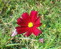 Red cosmos yellow pollen close up flower color of nature garden Royalty Free Stock Photos