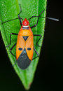 Red cotton steiner bug macro of on green leaf at night Stock Photography