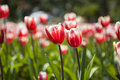 Red Couple Tulip Royalty Free Stock Photos
