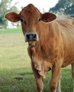 Red Cow Royalty Free Stock Photography