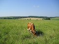 Red cow in the pasture eating grass green Royalty Free Stock Photo