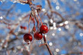 Red crab apples covered with ice photo of by after freezing rain Royalty Free Stock Photo