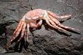 Red crab exoskeleton