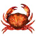 Red crab, fresh seafood or shellfish food, isolated, top view, watercolor illustration on white