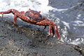 Red crab a on the reef Royalty Free Stock Photo