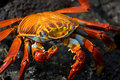 Red crab on the rock, galapagos islands Stock Images