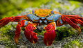 Red crab sitting on the rocks. The Galapagos Islands. Pacific Ocean. Ecuador.