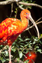 Red crane bird Royalty Free Stock Images