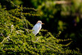 Red crest bird white with perched on a treetop Stock Photography