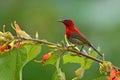 Red Crimson Sunbird Royalty Free Stock Photo