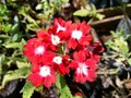 Red Crossandra Flowers