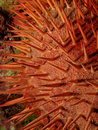 Red crown-of-thorns starfish Stock Image