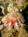 Red crown-of-thorns starfish Stock Photos